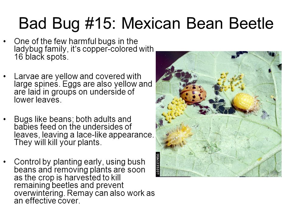 Bad Bug #15: Mexican Bean Beetle