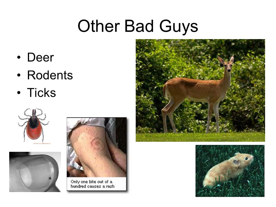 Other Bad Guys Deer Rodents Ticks