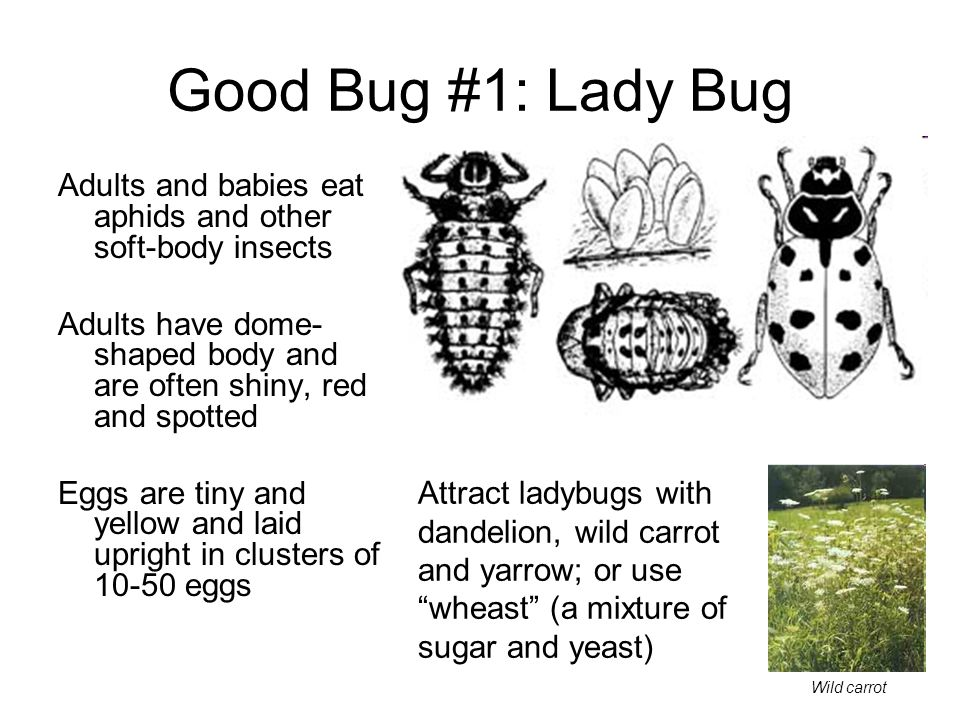 Good Bug #1: Lady Bug Adults and babies eat aphids and other soft-body insects. Adults have dome-shaped body and are often shiny, red and spotted.