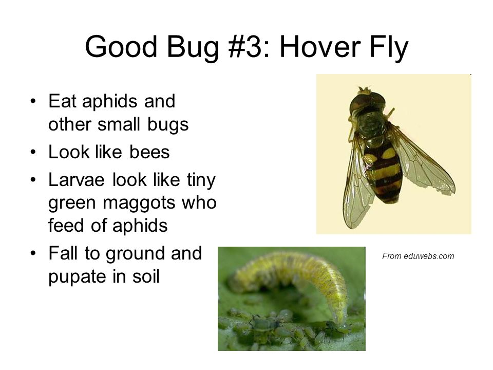 Good Bug #3: Hover Fly Eat aphids and other small bugs Look like bees