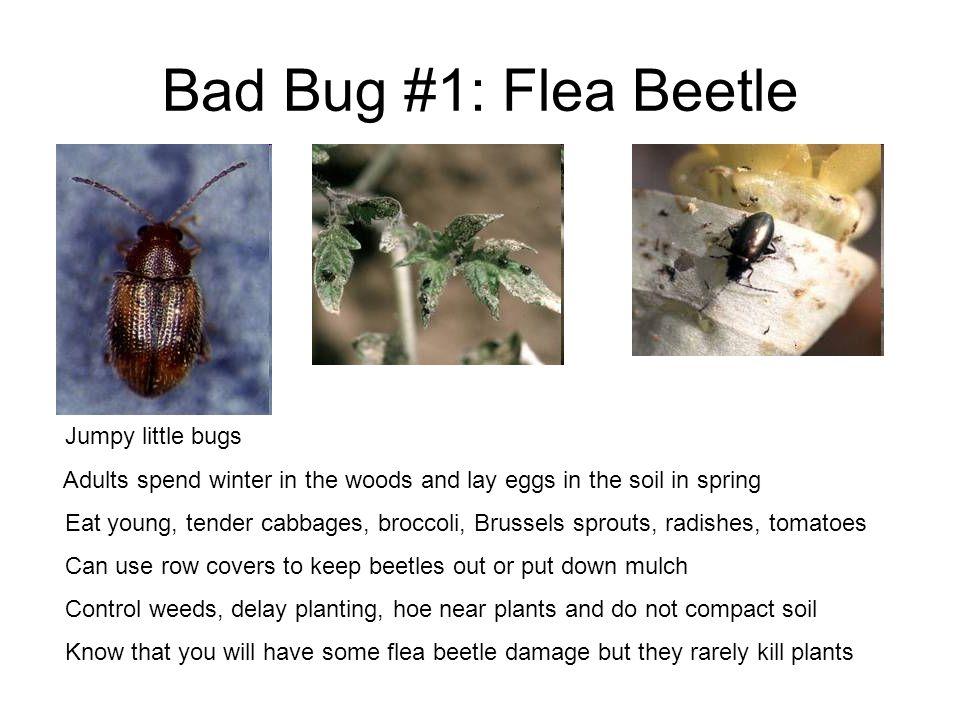 Bad Bug #1: Flea Beetle Jumpy little bugs