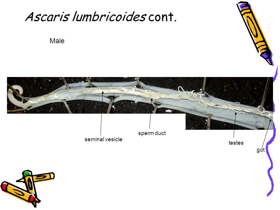 Ascaris lumbricoides cont.