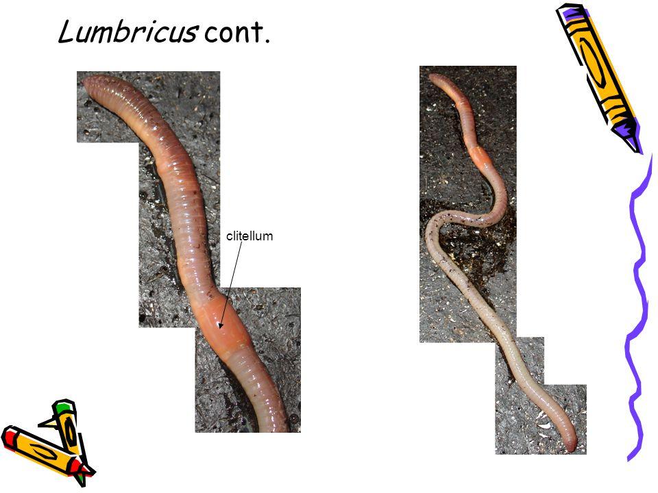 Lumbricus cont. clitellum