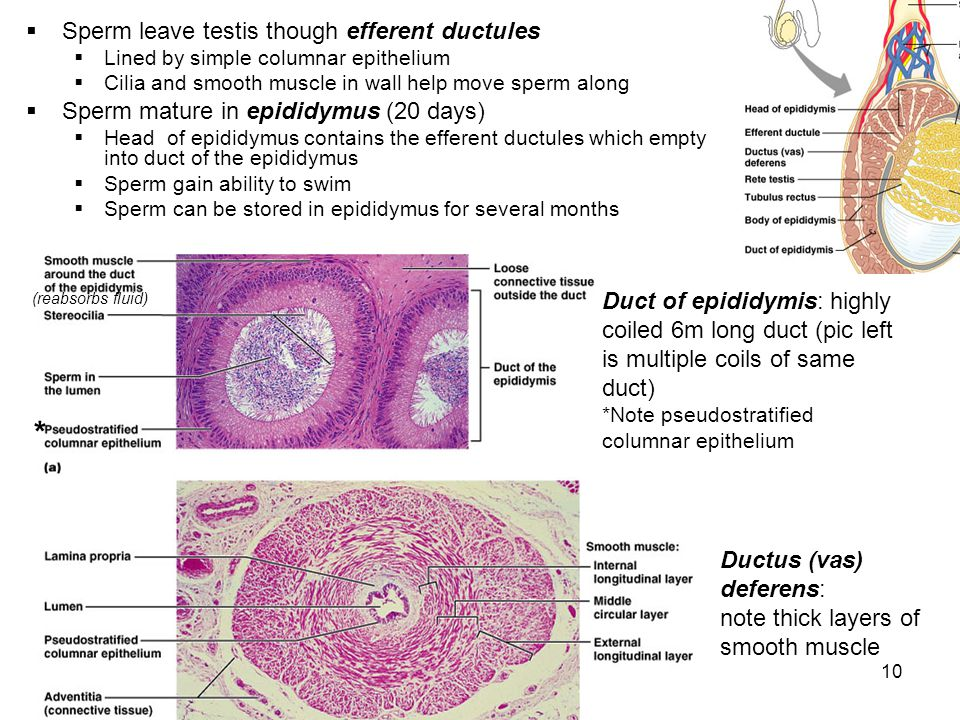 * Sperm leave testis though efferent ductules