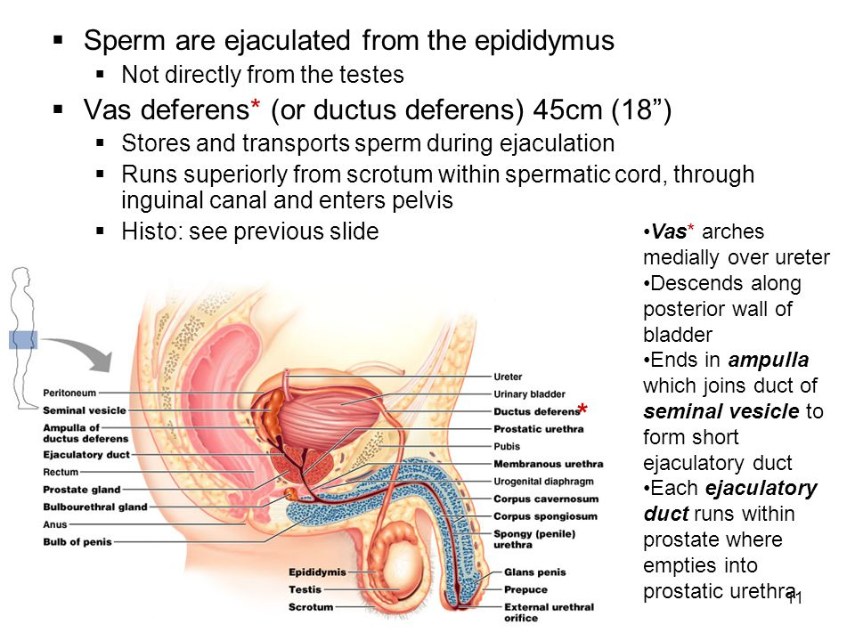 Sperm are ejaculated from the epididymus