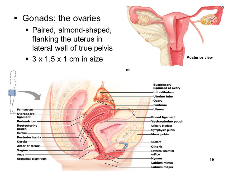 Gonads: the ovaries Paired, almond-shaped, flanking the uterus in lateral wall of true pelvis. 3 x 1.5 x 1 cm in size.