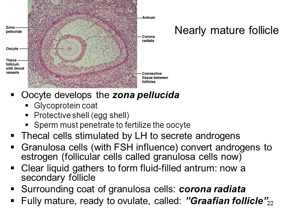 Nearly mature follicle