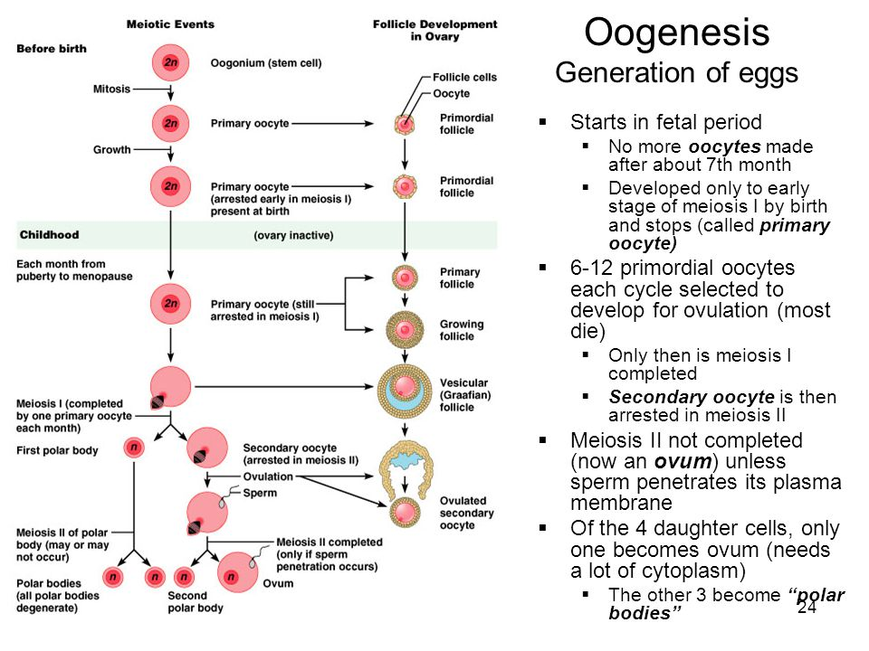 Oogenesis Generation of eggs