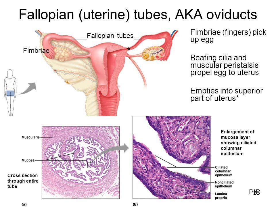 Fallopian (uterine) tubes, AKA oviducts