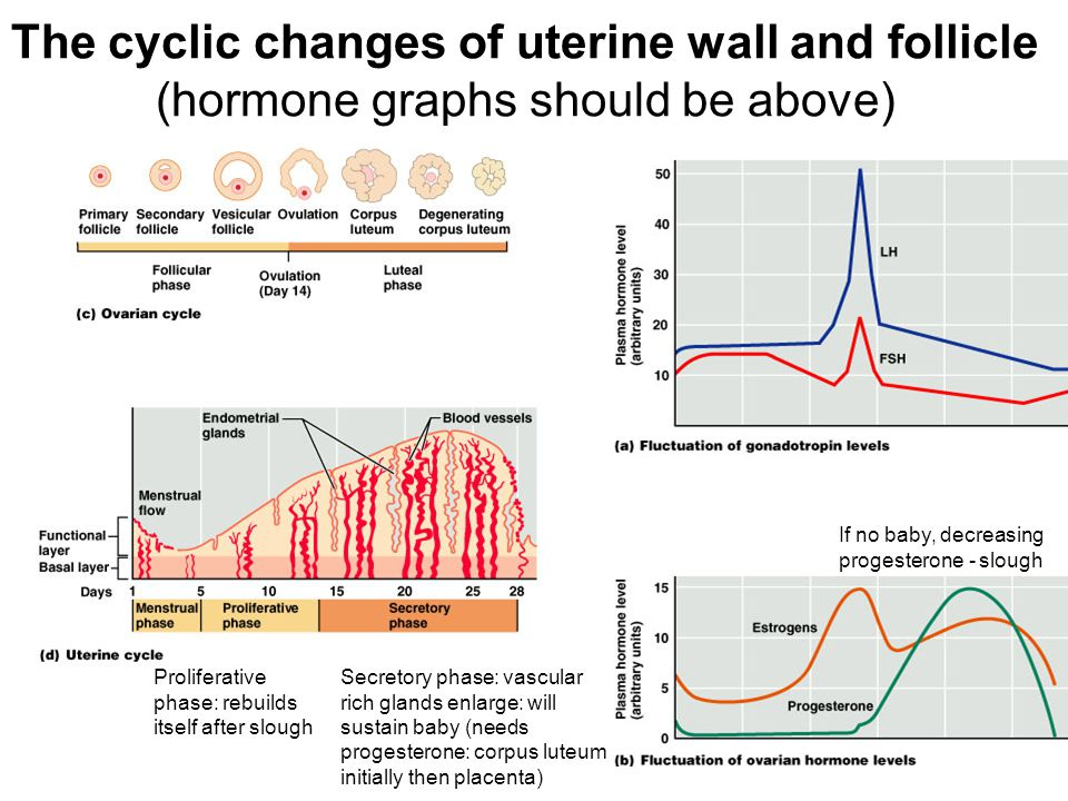 The cyclic changes of uterine wall and follicle (hormone graphs should be above)