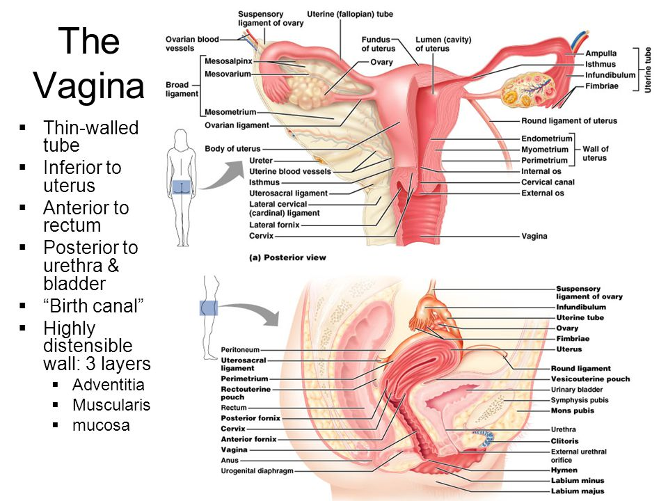 The Vagina Thin-walled tube Inferior to uterus Anterior to rectum