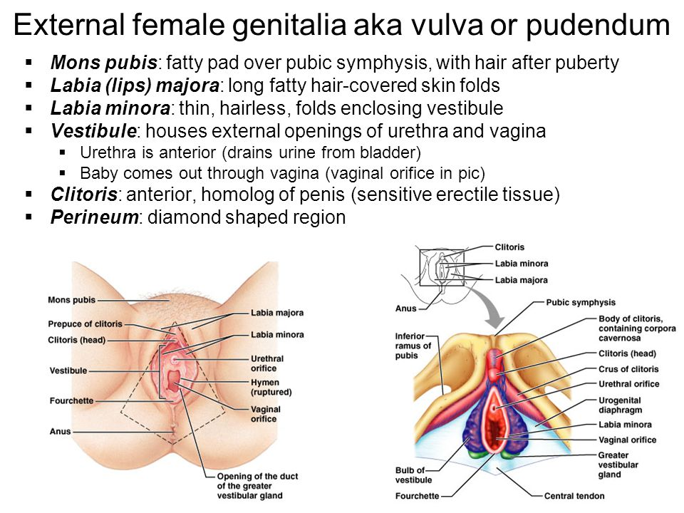 External female genitalia aka vulva or pudendum