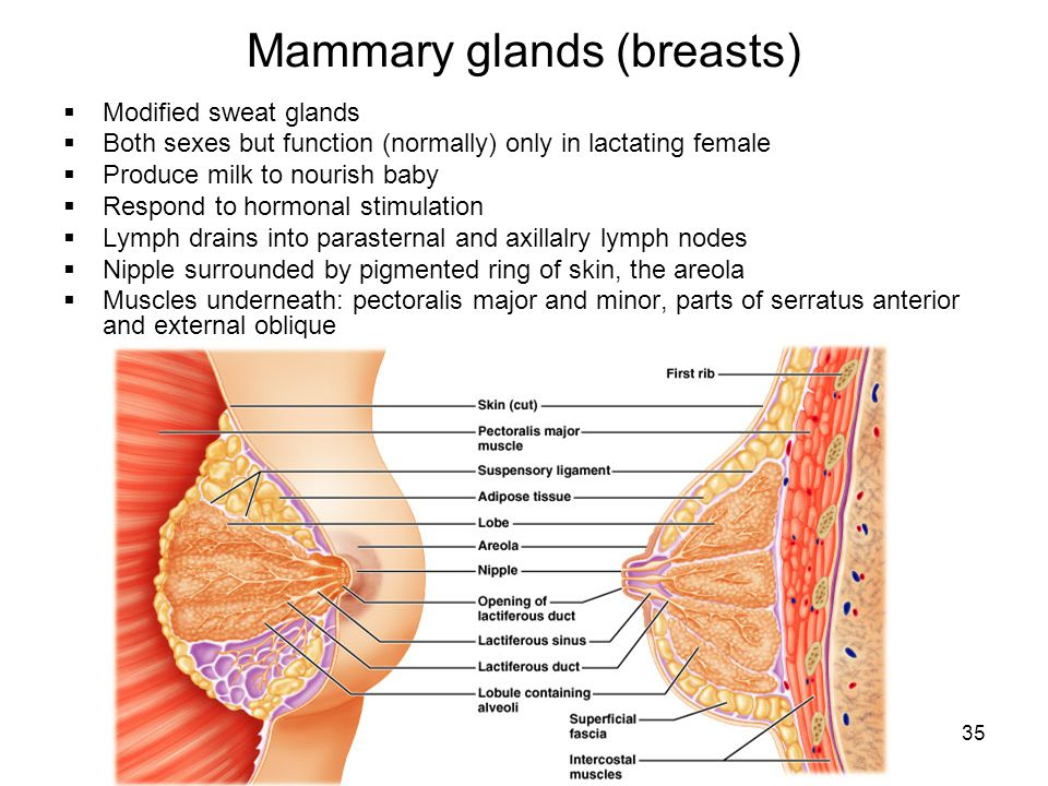 Mammary glands (breasts)