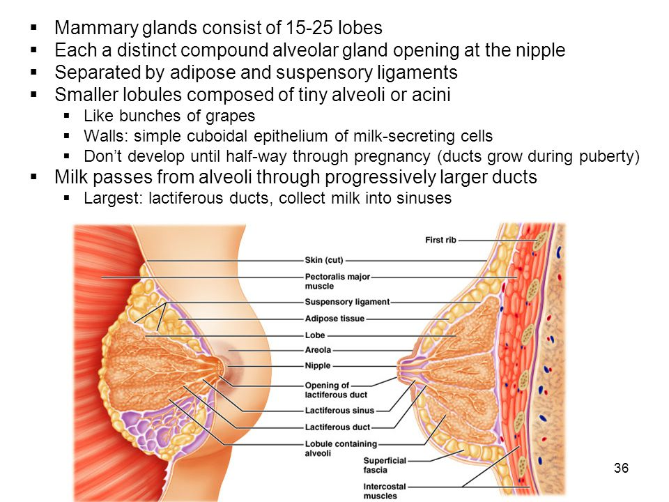 Mammary glands consist of 15-25 lobes