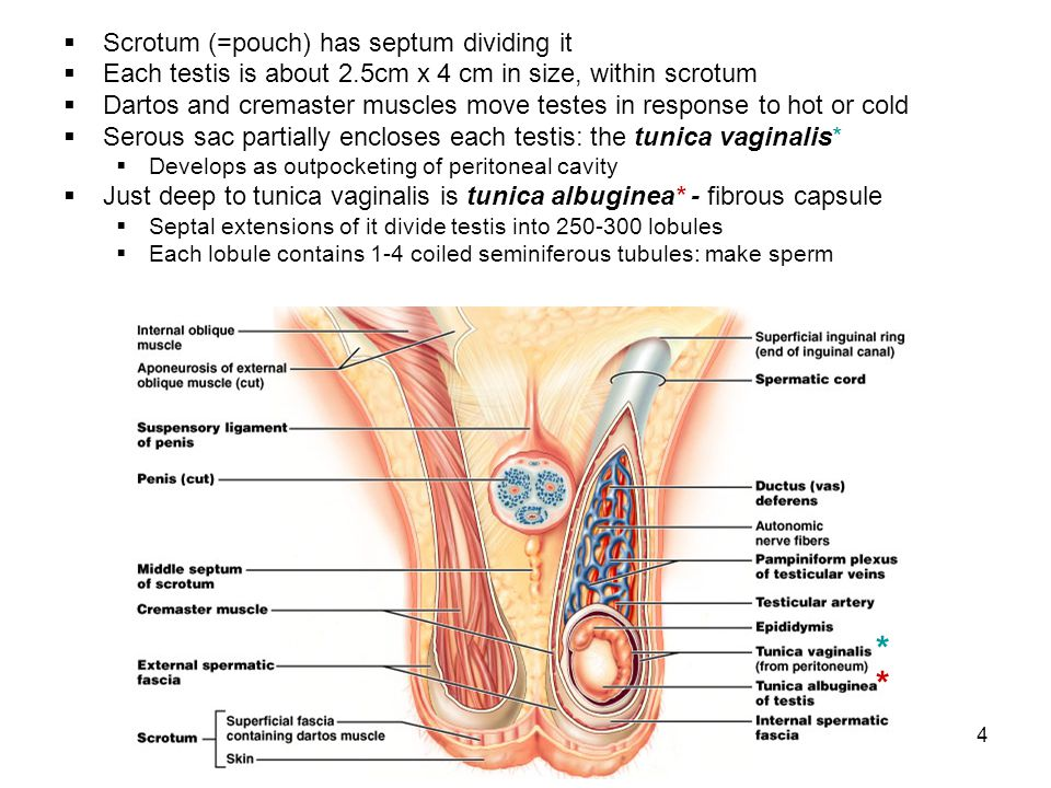 * * Scrotum (=pouch) has septum dividing it