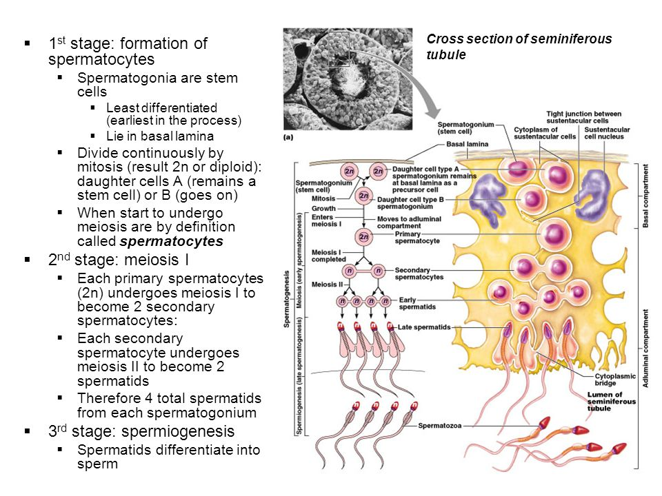 1st stage: formation of spermatocytes