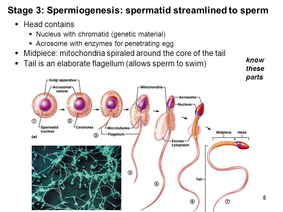 Stage 3: Spermiogenesis: spermatid streamlined to sperm