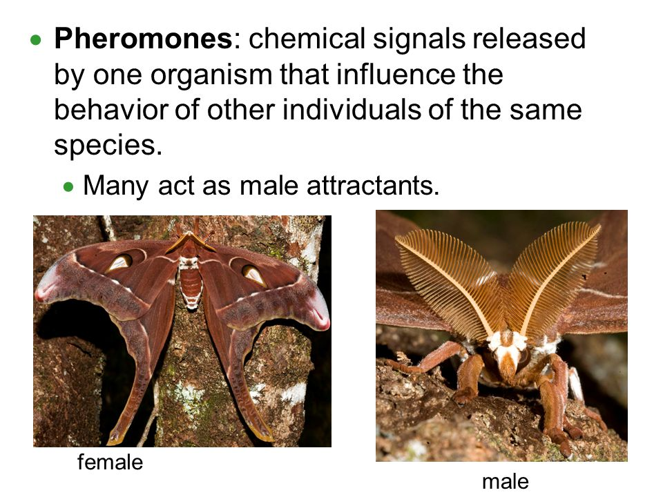 Pheromones: chemical signals released by one organism that influence the behavior of other individuals of the same species.