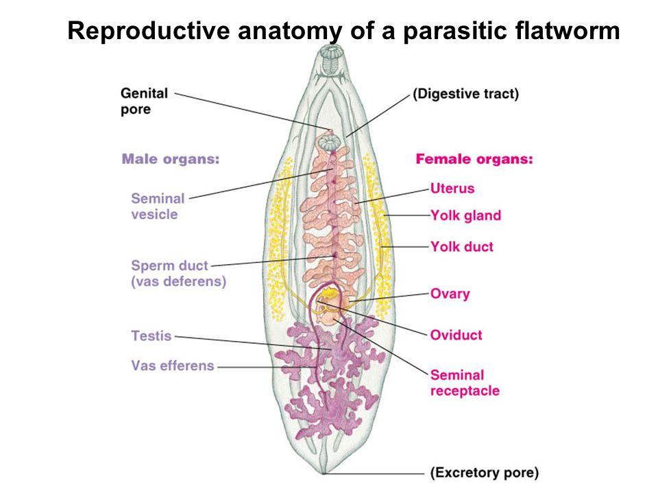 Reproductive anatomy of a parasitic flatworm