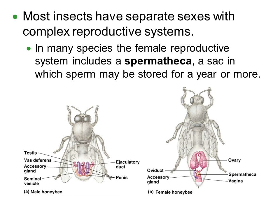 Most insects have separate sexes with complex reproductive systems.