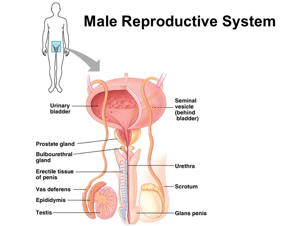 Reproductive system ch 46a ppt video online download 21 male reproductive system ccuart Images