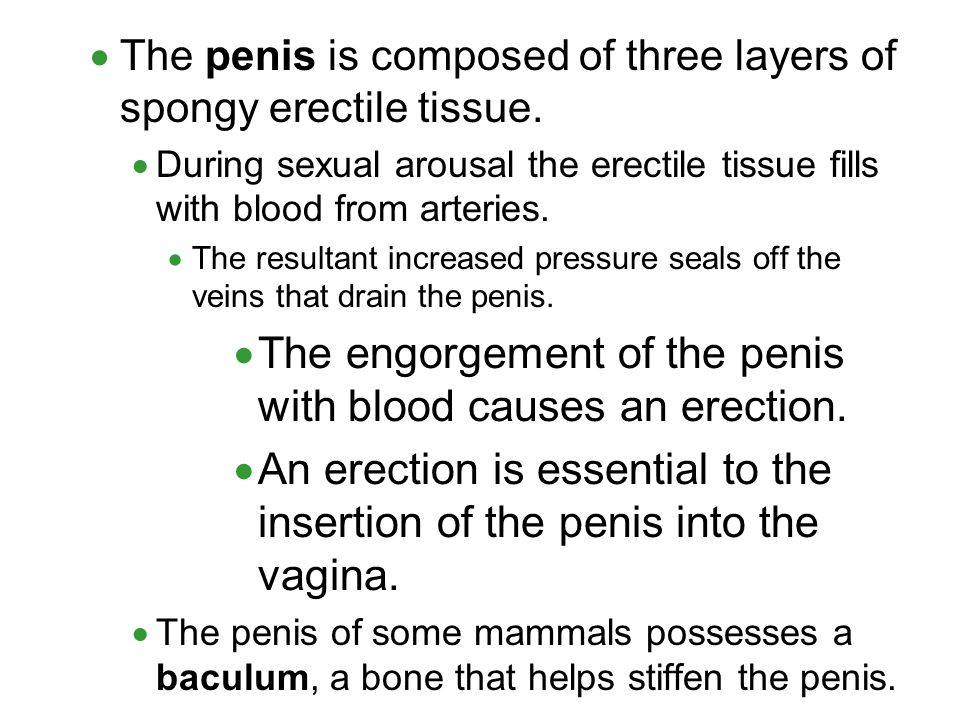 The engorgement of the penis with blood causes an erection.