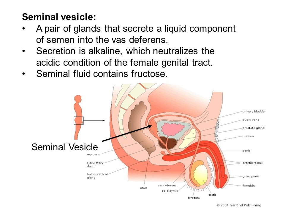 Seminal vesicle: A pair of glands that secrete a liquid component of semen into the vas deferens.