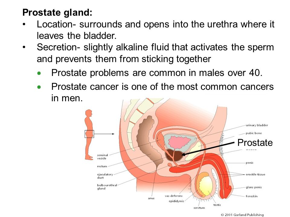 Prostate gland: Location- surrounds and opens into the urethra where it leaves the bladder.