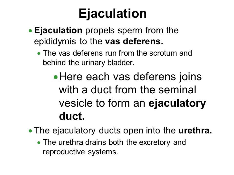 Ejaculation Ejaculation propels sperm from the epididymis to the vas deferens. The vas deferens run from the scrotum and behind the urinary bladder.