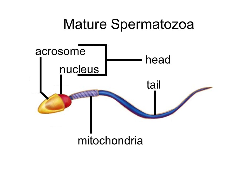 Mature Spermatozoa acrosome head nucleus tail mitochondria