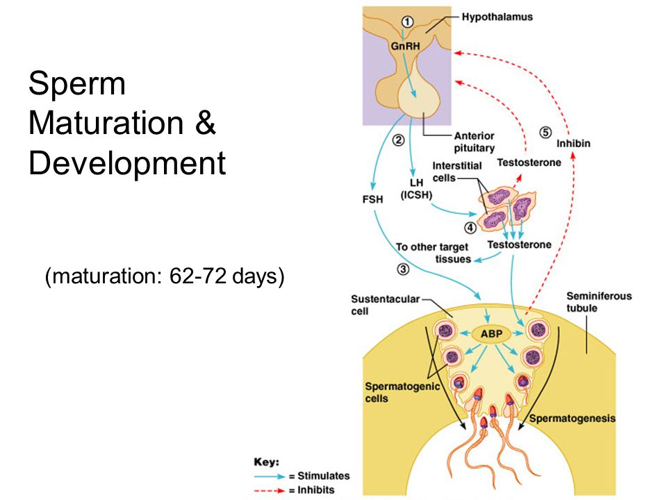 Sperm Maturation & Development