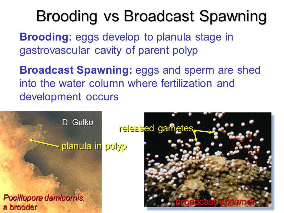 Brooding vs Broadcast Spawning
