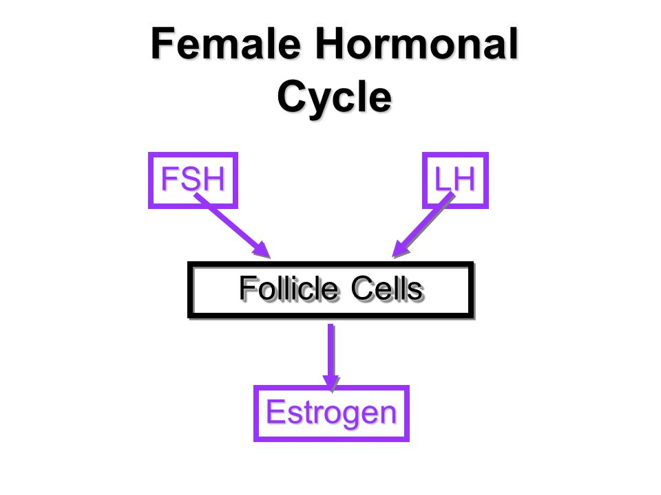 Female Hormonal Cycle FSH LH Follicle Cells Estrogen