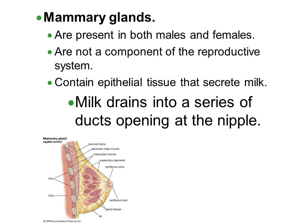 Milk drains into a series of ducts opening at the nipple.