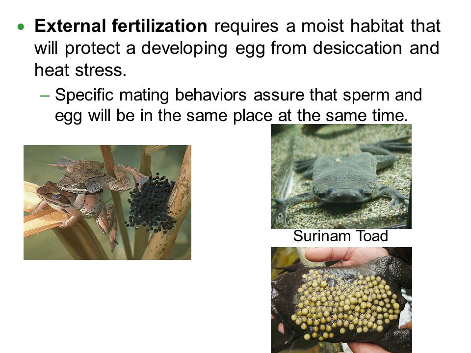 External fertilization requires a moist habitat that will protect a developing egg from desiccation and heat stress.