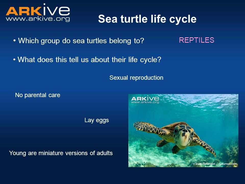 Sea turtle life cycle Which group do sea turtles belong to REPTILES