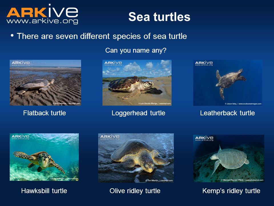 Sea turtles There are seven different species of sea turtle