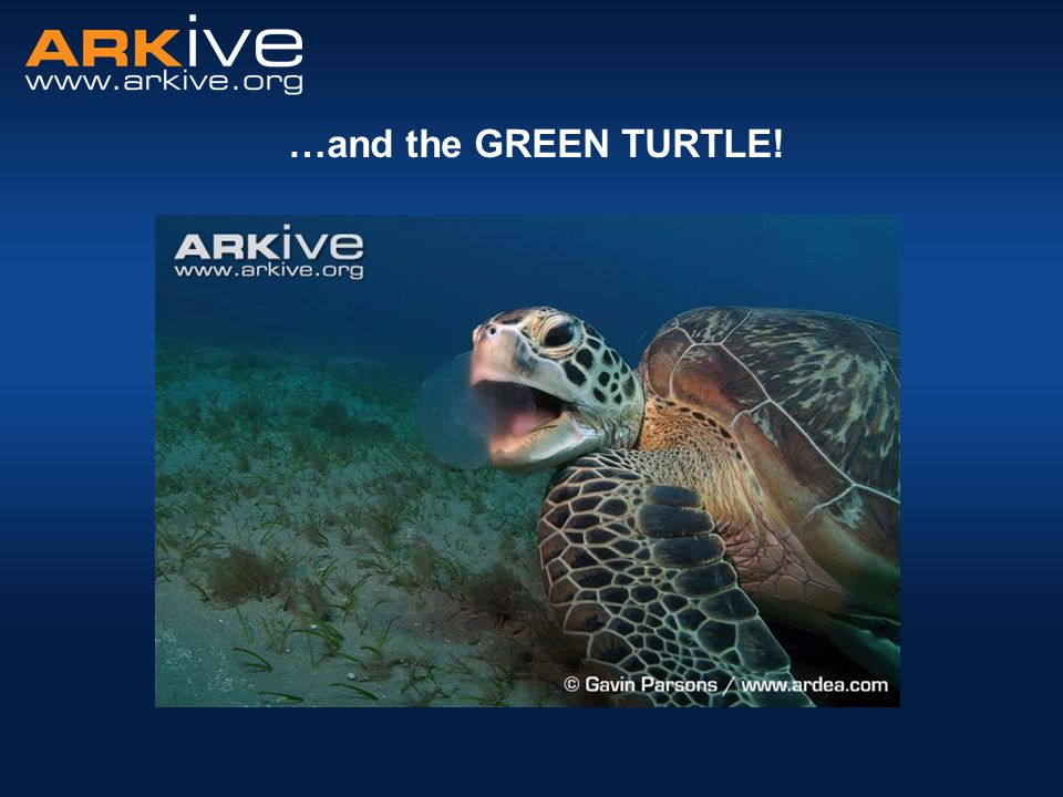 …and the GREEN TURTLE. And finally the green turtle.