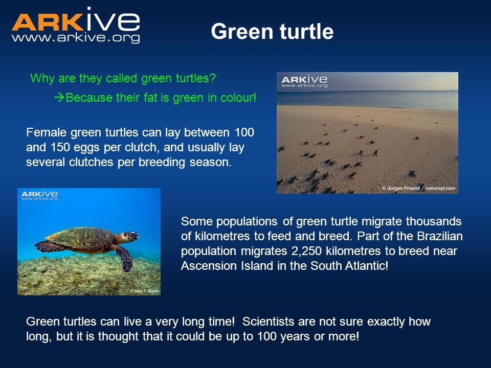 Green turtle Why are they called green turtles