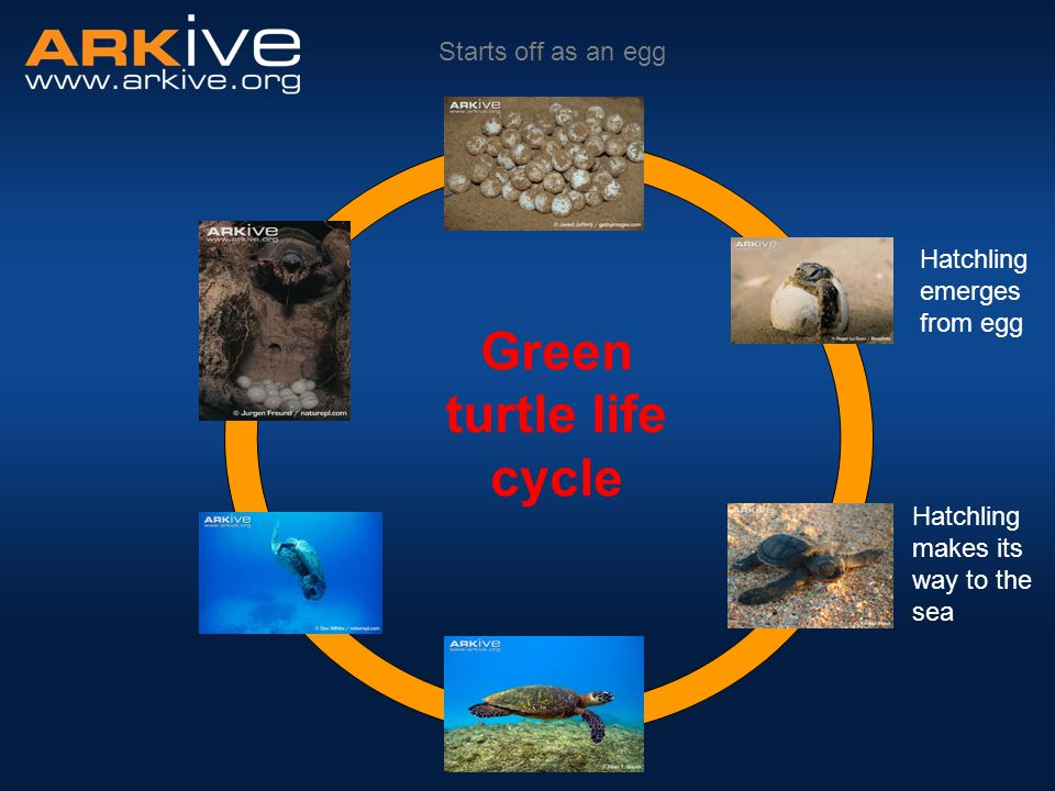 Green turtle life cycle