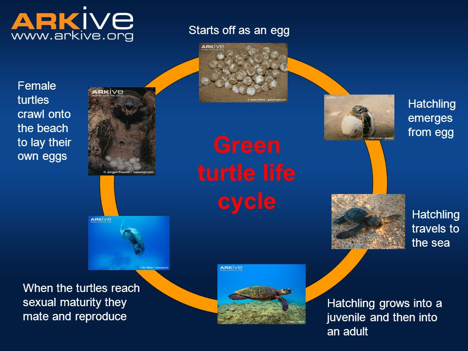 Green turtle life cycle