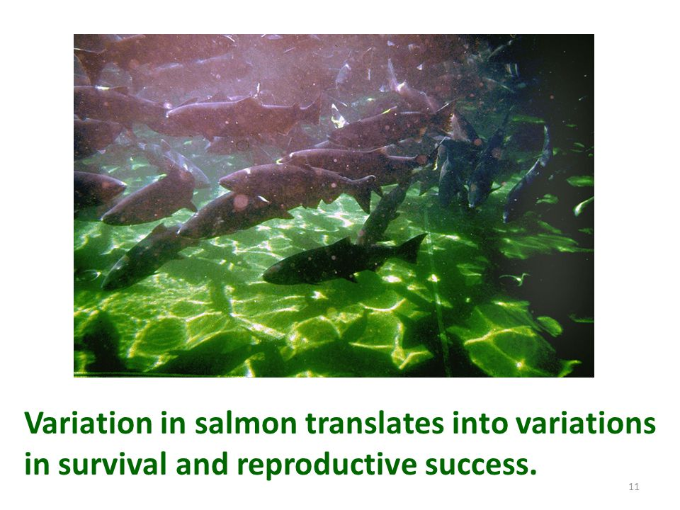 Variation in salmon translates into variations in survival and reproductive success.