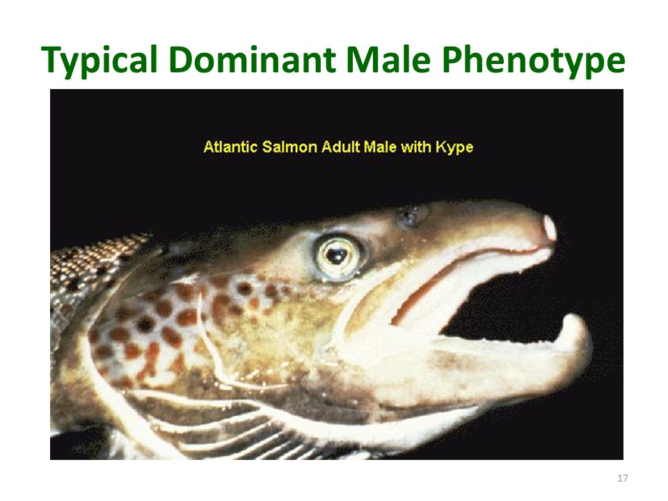 Typical Dominant Male Phenotype