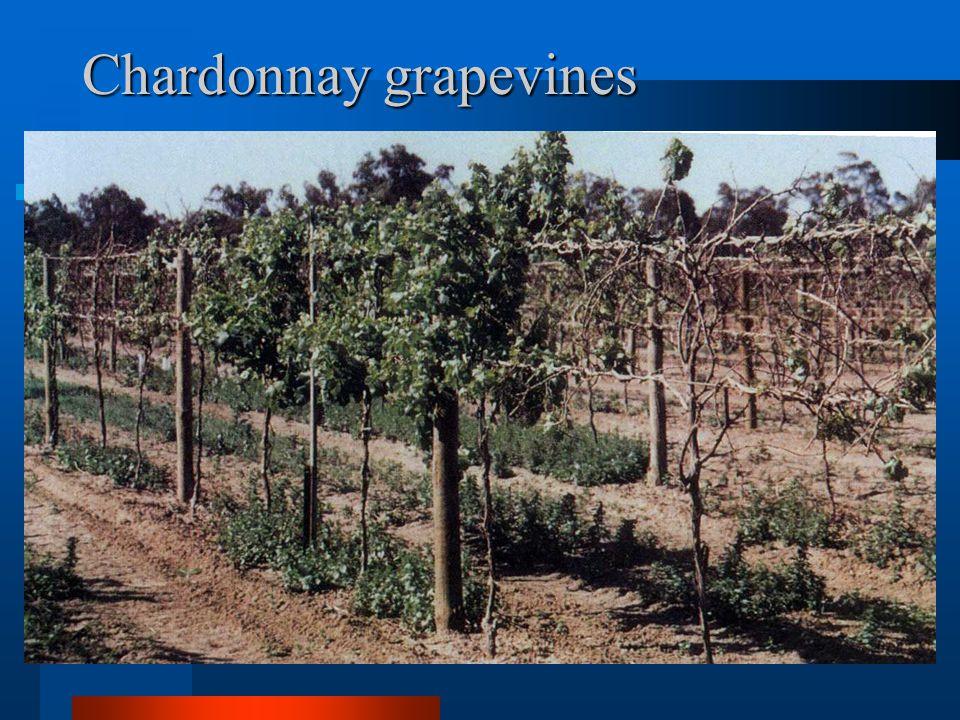 Chardonnay grapevines