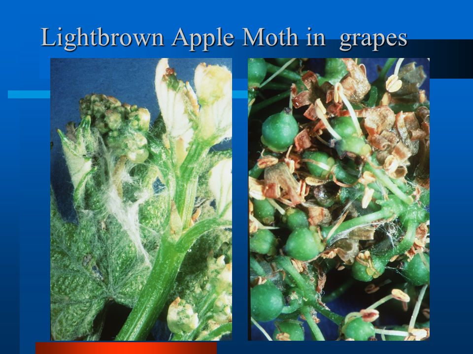 Lightbrown Apple Moth in grapes