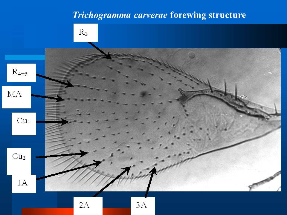 Trichogramma carverae forewing structure