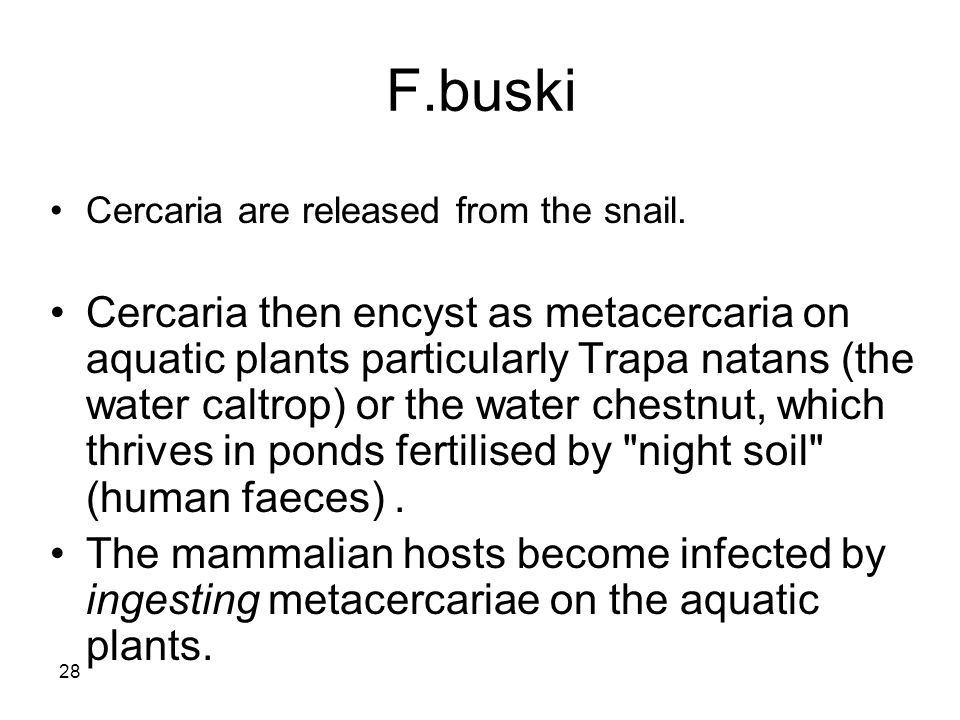 F.buski Cercaria are released from the snail.