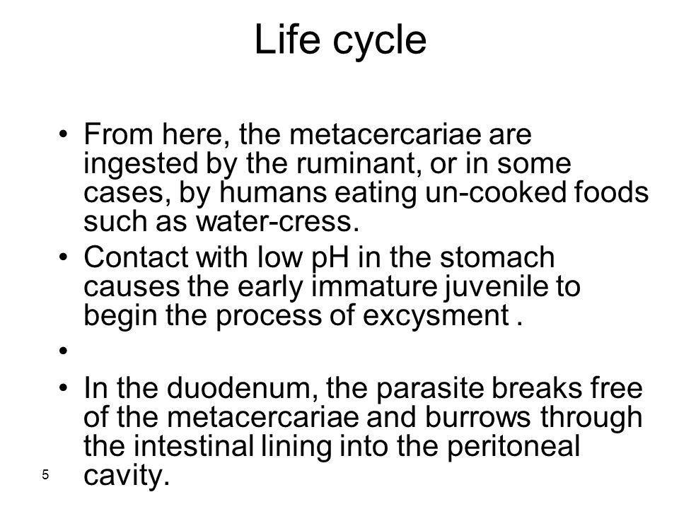 Life cycle From here, the metacercariae are ingested by the ruminant, or in some cases, by humans eating un-cooked foods such as water-cress.