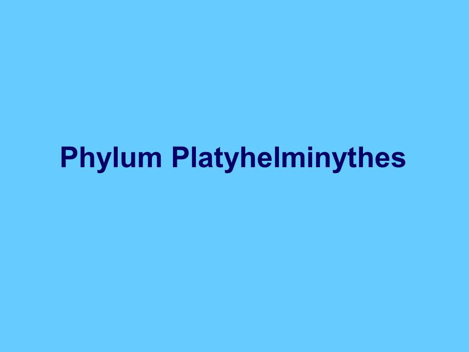 Phylum Platyhelminythes