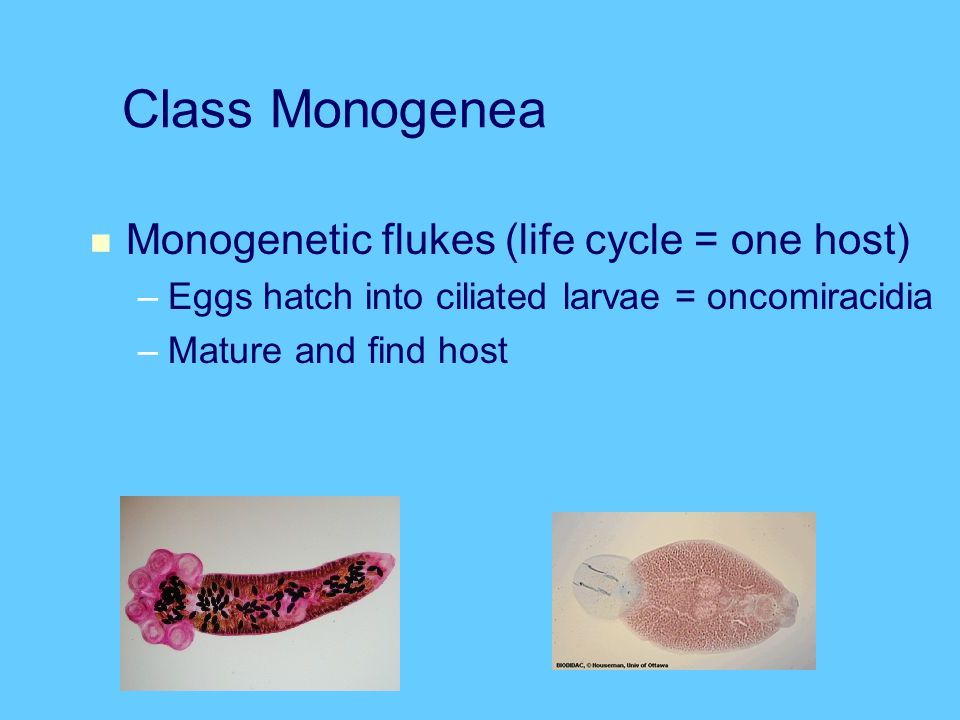 Class Monogenea Monogenetic flukes (life cycle = one host)